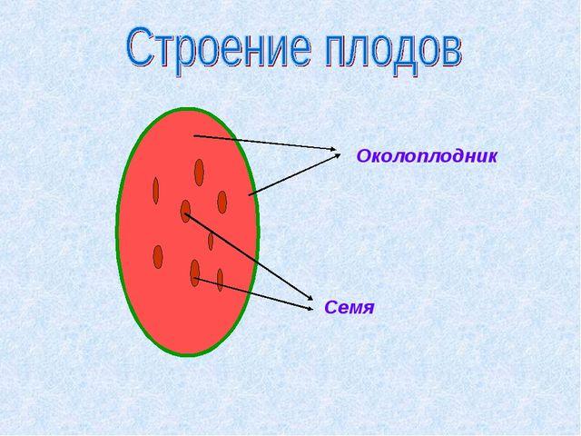 Околоплодник Семя