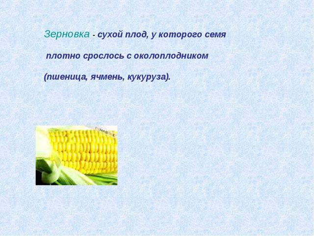 Зерновка - сухой плод, у которого семя плотно срослось с околоплодником (пшен...