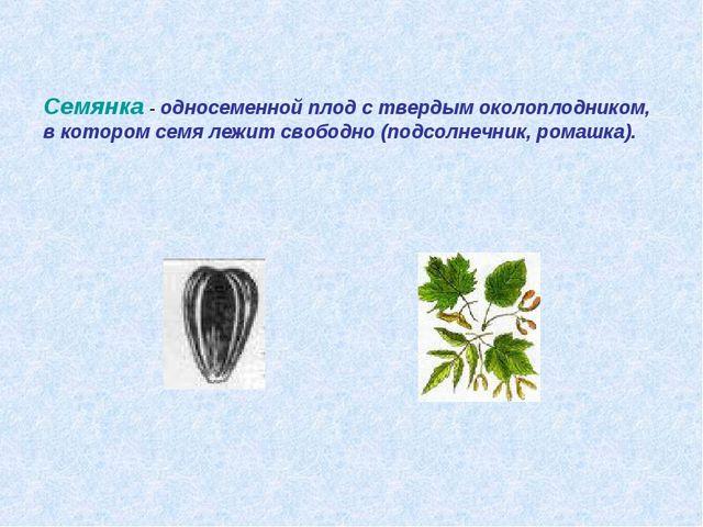 Семянка - односеменной плод с твердым околоплодником, в котором семя лежит св...