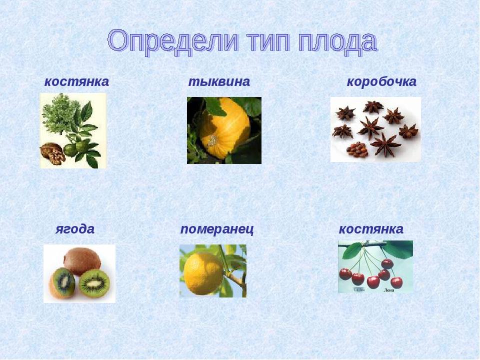костянка тыквина коробочка ягода померанец костянка