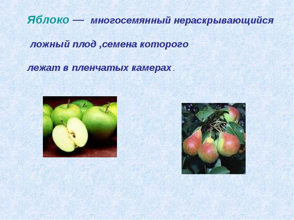 Яблоко — многосемянный нераскрывающийся ложный плод ,семена которого лежат в...
