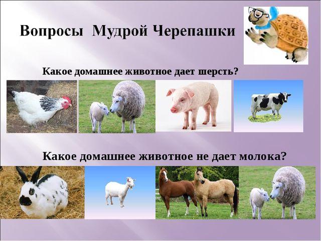 Какое домашнее животное дает шерсть? Какое домашнее животное не дает молока?