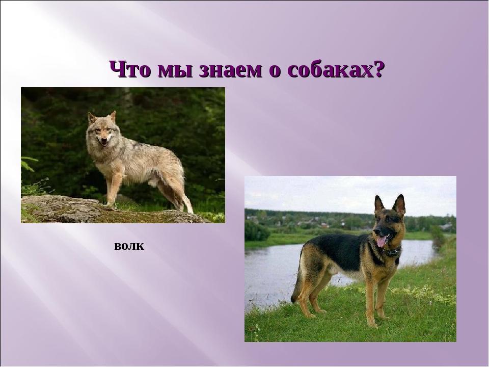 Что мы знаем о собаках? волк
