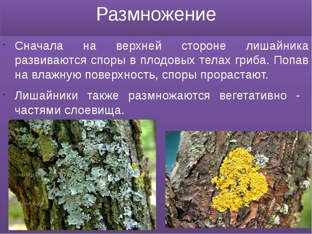 Размножение Сначала на верхней стороне лишайника развиваются споры в плодовых...