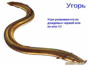 Угри развиваются из дождевых червей или из ила !!!!