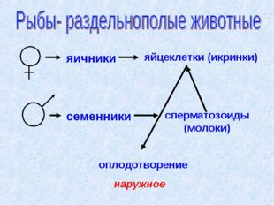 яичники яйцеклетки (икринки) семенники сперматозоиды (молоки) оплодотворение