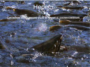 Сложное поведение рыб в период размножения.