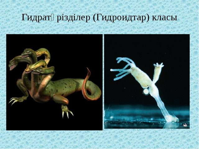 Гидратәрізділер (Гидроидтар) класы