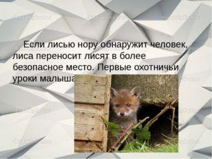 Если лисью нору обнаружит человек, лиса переносит лисят в более безопасное м