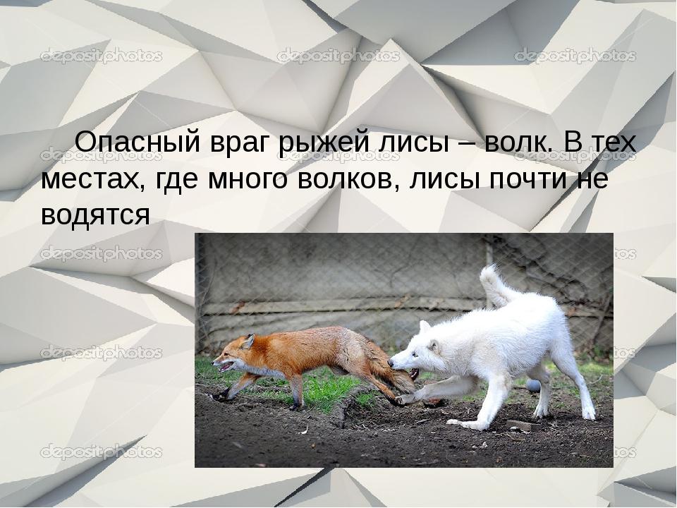 Опасный враг рыжей лисы – волк. В тех местах, где много волков, лисы почти н...