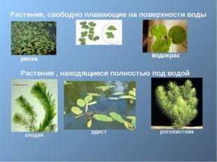 Растения, свободно плавающие на поверхности воды ряска водокрас Растения , н