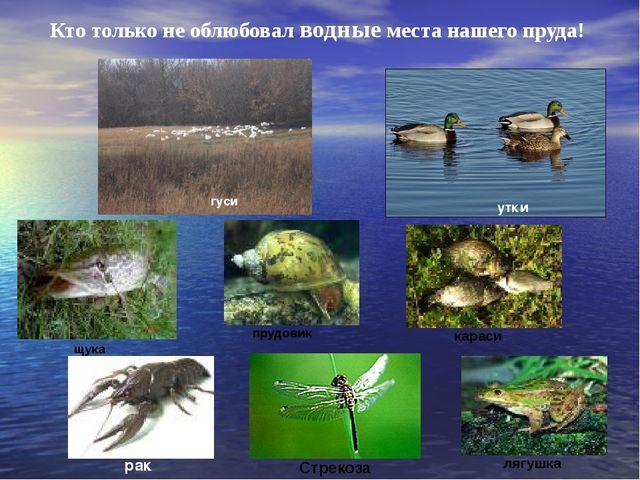 Кто только не облюбовал водные места нашего пруда! гуси утки рак щука прудови...