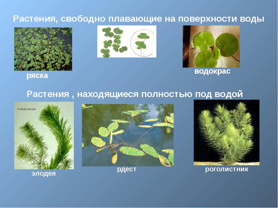 Растения, свободно плавающие на поверхности воды ряска водокрас Растения , н...