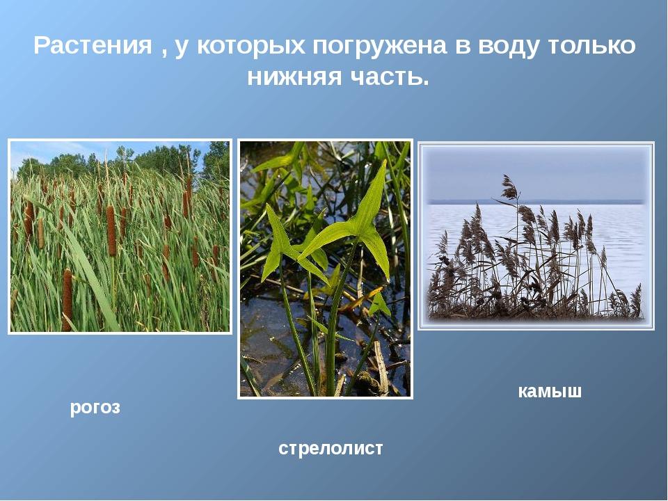 Растения , у которых погружена в воду только нижняя часть. рогоз стрелолист...