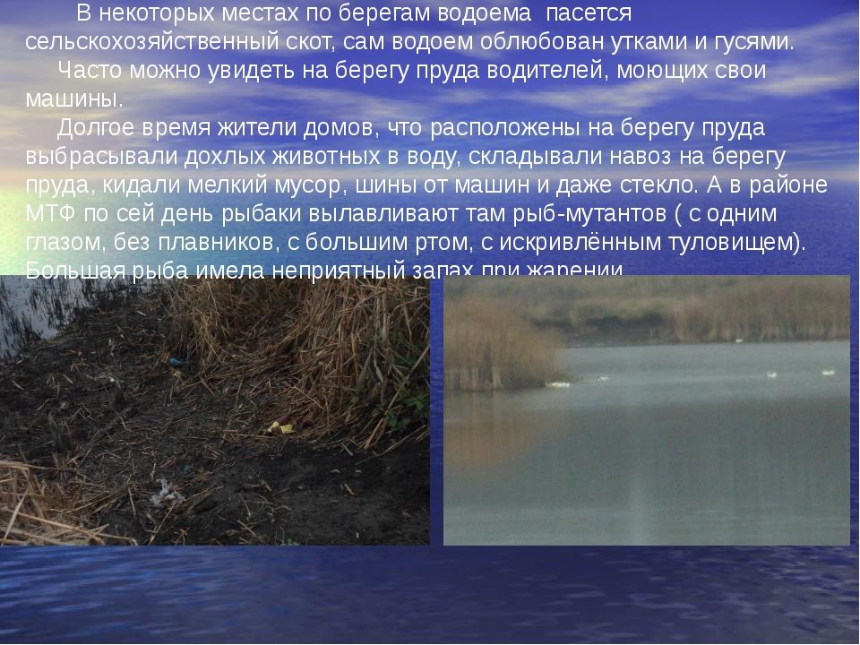 В некоторых местах по берегам водоема пасется сельскохозяйственный скот, сам...