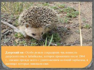 Даурский еж- Особо резкое сокращение численности даурского ежа в Забайкалье,