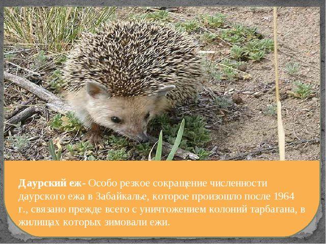 Даурский еж- Особо резкое сокращение численности даурского ежа в Забайкалье,...