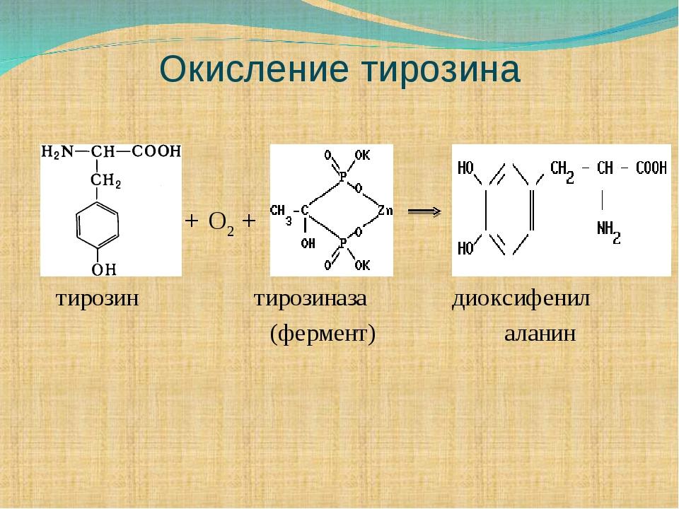 Окисление тирозина + O2 + тирозин тирозиназа диоксифенил (фермент) аланин