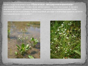 Частуха подорожниковая Растёт у воды (или прямо в воде на мелком месте), цве