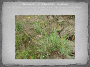 Лисохвост коленчатый, водяной расте т возле прудов, болот, на сырых лугах и г