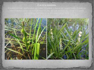 Ежеголовник Эти многолетние прибрежные растения, склонные к быстрому разраст