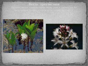 Вахта трехлистная Крупные светлые соцветия хорошо видны даже в темноте, как б