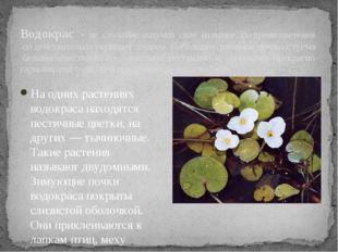 Водокрас - не случайно получил свое название. Во время цветения он действите