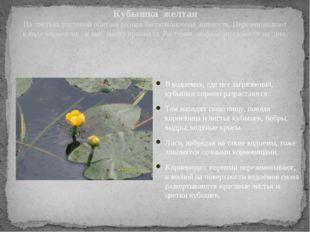 Кубышка желтая На листьях растений обитает разная беспозвоночная живность. Пе