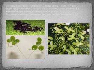 Благодаря высокому содержанию , белка ряска может соперничать с бобовыми рас