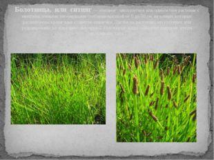 Болотница, или ситняг — изящное многолетнее или однолетнее растение с многочи