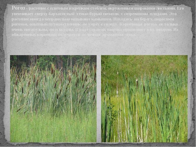 Рогоз - растение с плотным и крепким стеблем, окруженным широкими листьями. Е...