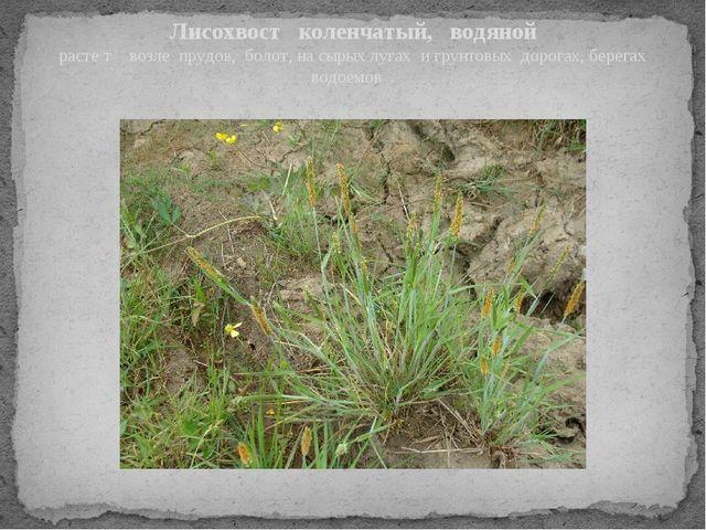 Лисохвост коленчатый, водяной расте т возле прудов, болот, на сырых лугах и г...