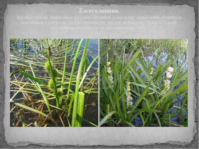 Ежеголовник Эти многолетние прибрежные растения, склонные к быстрому разраст...