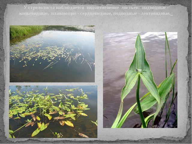 У стрелолиста наблюдается видоизменение листьев: надводные - копьевидные, пла...