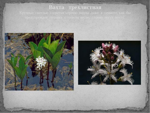 Вахта трехлистная Крупные светлые соцветия хорошо видны даже в темноте, как б...