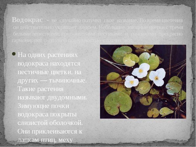 Водокрас - не случайно получил свое название. Во время цветения он действите...