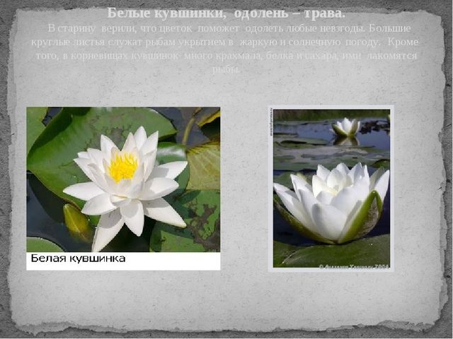 Белые кувшинки, одолень – трава. В старину верили, что цветок поможет одолеть...