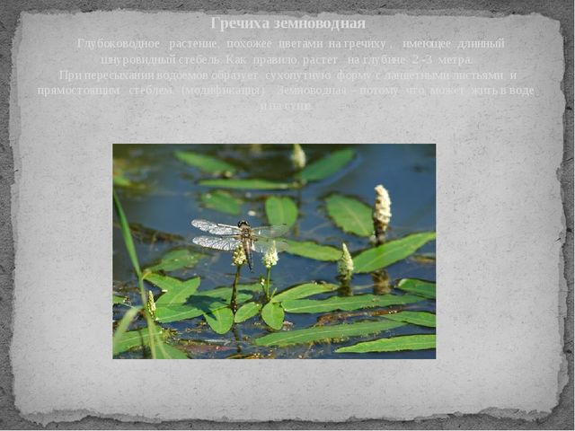 Гречиха земноводная Глубоководное растение, похожее цветами на гречиху , имею...
