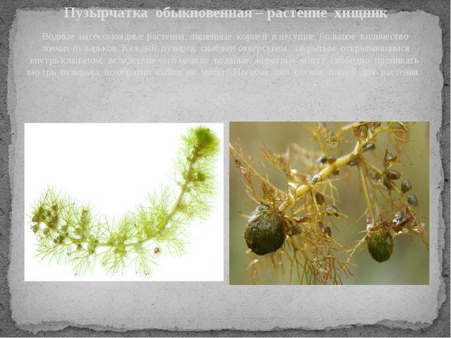 Пузырчатка обыкновенная – растение хищник Водные насекомоядные растения, лиш...