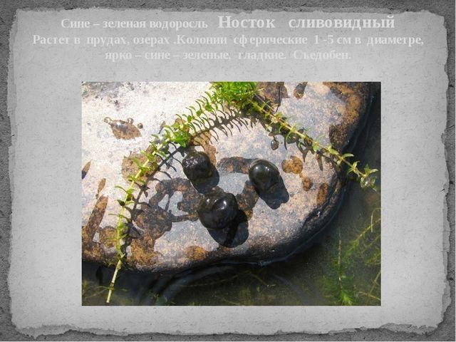 Сине – зеленая водоросль Носток сливовидный Растет в прудах, озерах .Колонии...
