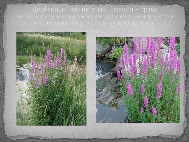 Дербенник иволистный, плакун – трава Сок этого растения использовали для дубл...