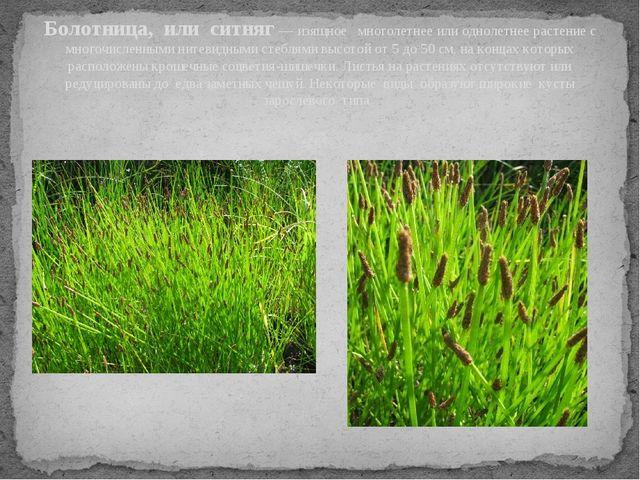 Болотница, или ситняг — изящное многолетнее или однолетнее растение с многочи...