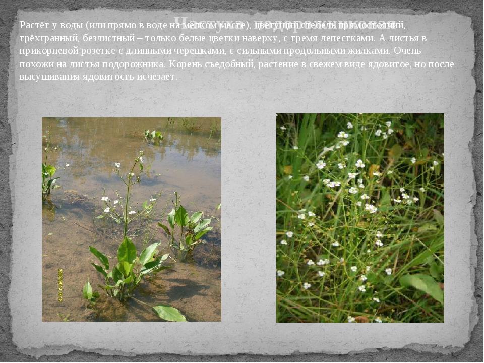 Частуха подорожниковая Растёт у воды (или прямо в воде на мелком месте), цве...