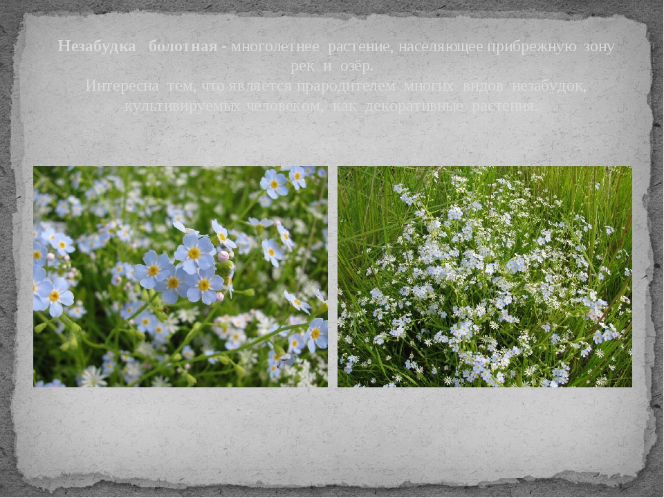 Незабудка болотная - многолетнее растение, населяющее прибрежную зону рек...