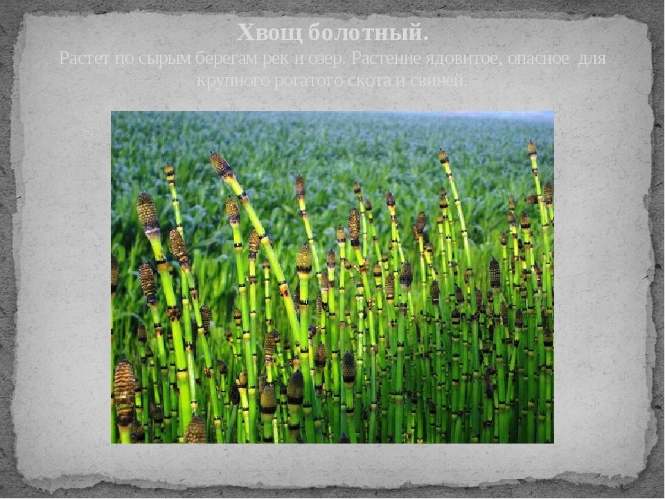 Хвощ болотный. Растет по сырым берегам рек и озер. Растение ядовитое, опасное...