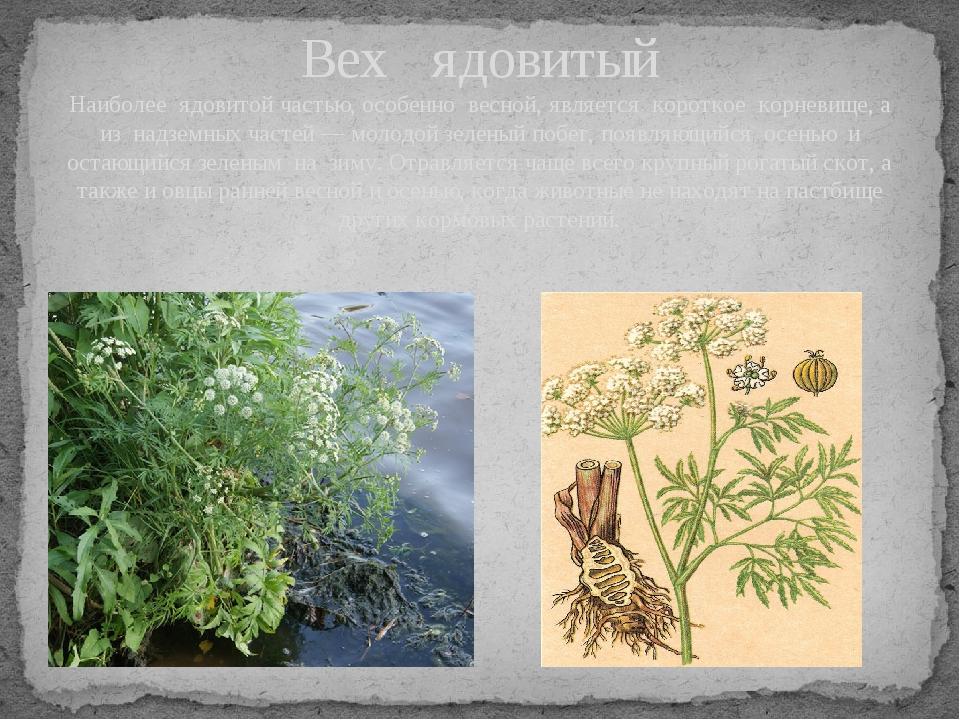 Вех ядовитый Наиболее ядовитой частью, особенно весной, является короткое кор...