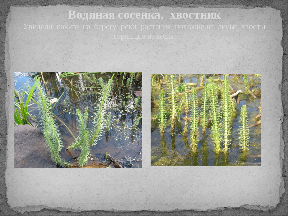 Водяная сосенка, хвостник Увидели как-то на берегу реки растения, похожие на...