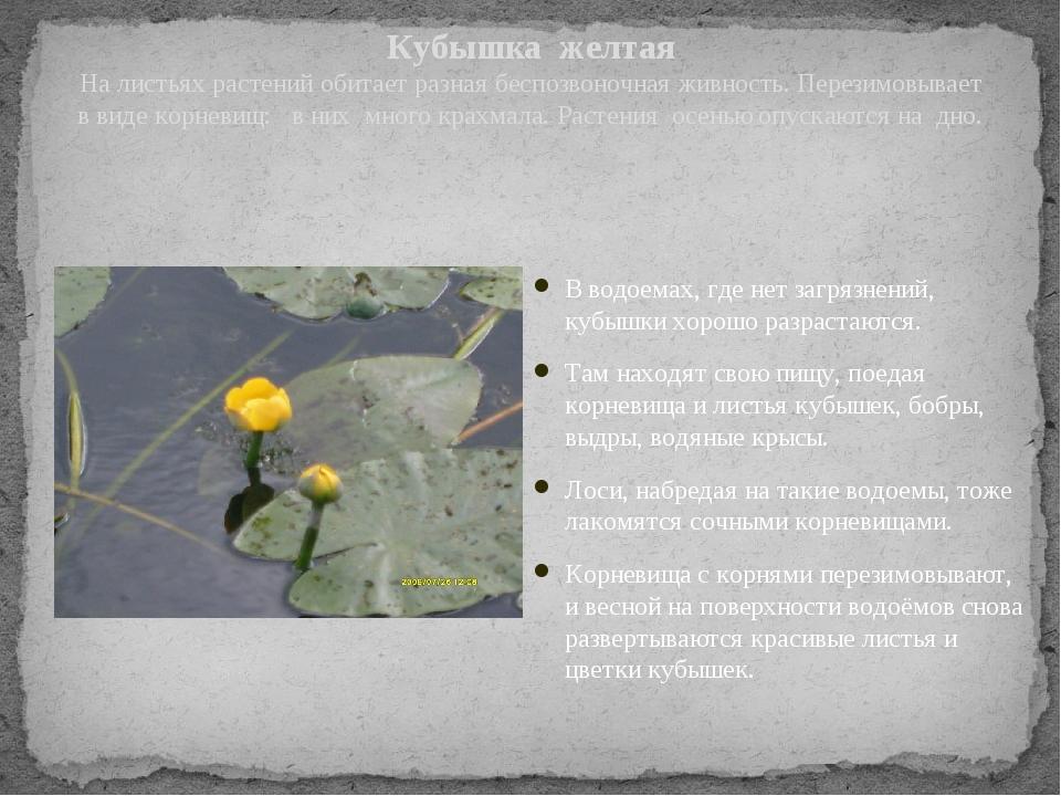 Кубышка желтая На листьях растений обитает разная беспозвоночная живность. Пе...