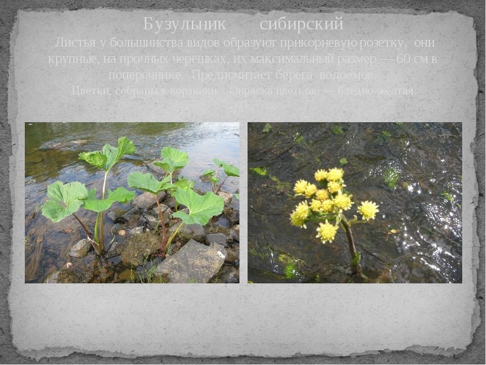 Бузульник сибирский Листьяу большинства видов образуют прикорневуюрозетку,...