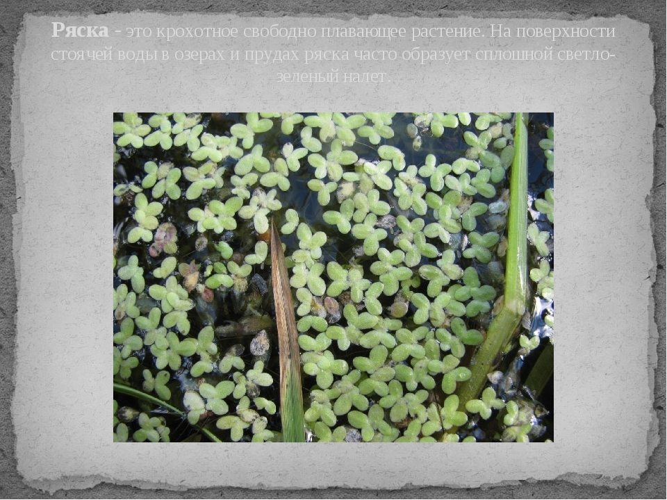 Ряска - это крохотное свободно плавающее растение. На поверхности стоячей вод...